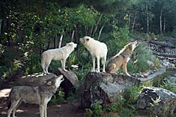 Image of wolves howling