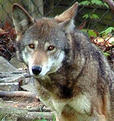 Image of a wolf at the Knoxville Zoological Gardens