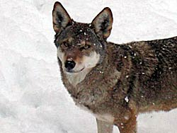 Image of a wolf at the Rosamond Gifford Zoo