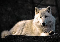 image of a wolf