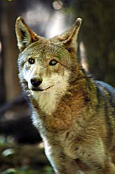 Image of Red Wolf