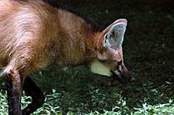Image of a Maned Wolf